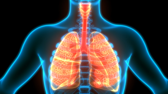 istock Human Respiratory System Lungs with Alveoli Anatomy 1223310913