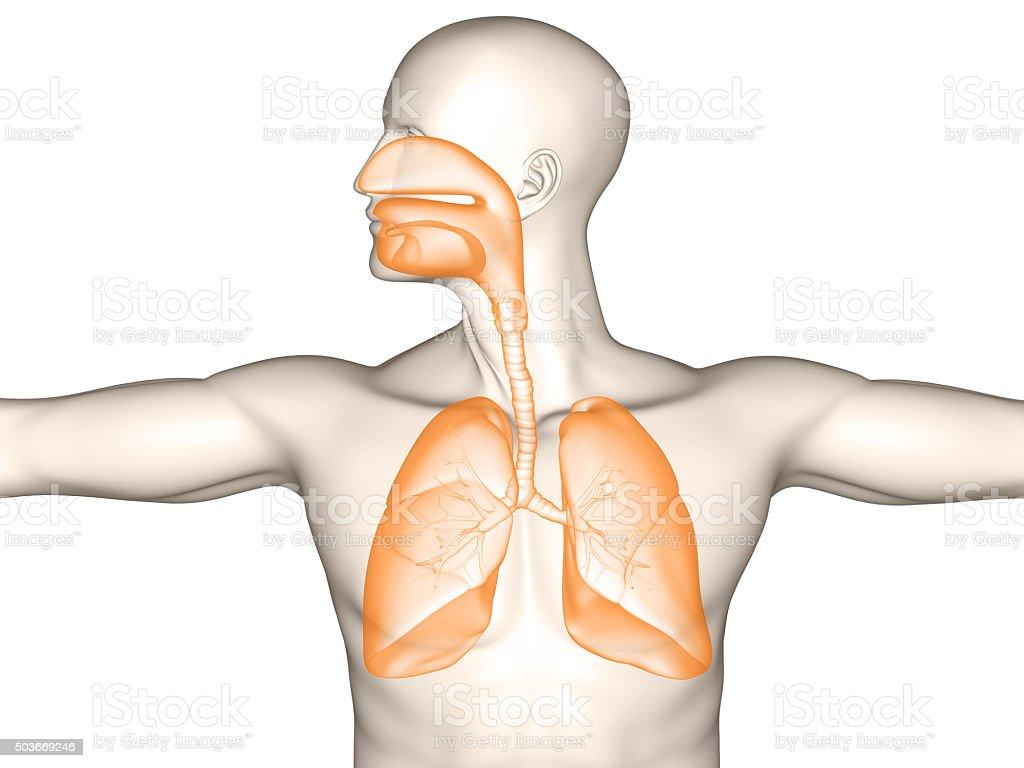 Menschliche Atmungsorgan – Foto