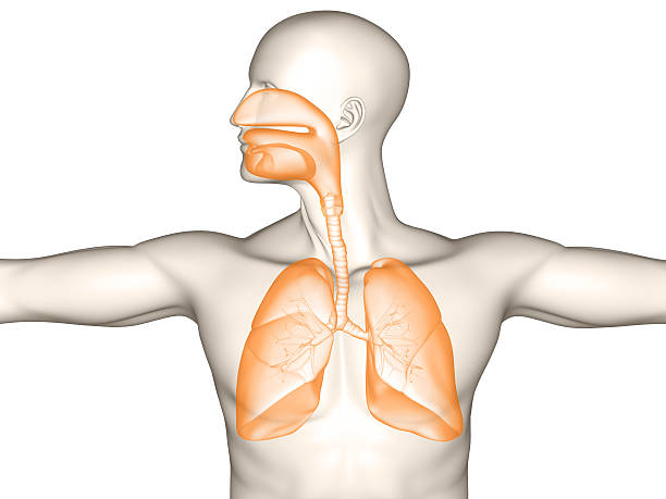 human respiratory system - respiratory tract stock photos and pictures