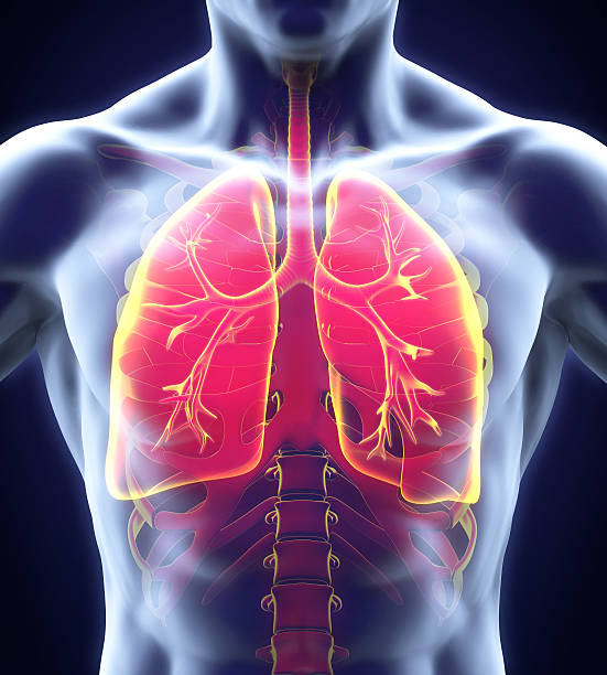 Human Respiratory System Human Respiratory System Illustration. 3D render human lung stock pictures, royalty-free photos & images