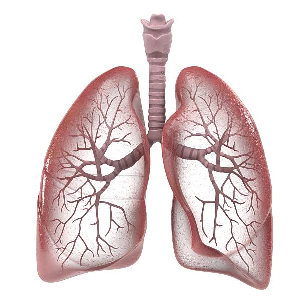 human respiratory system 3d renderings of human respiratory system human lung stock pictures, royalty-free photos & images