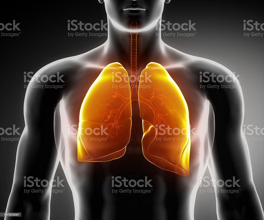 Human respiratory system with lungs and bronchial tree stock photo
