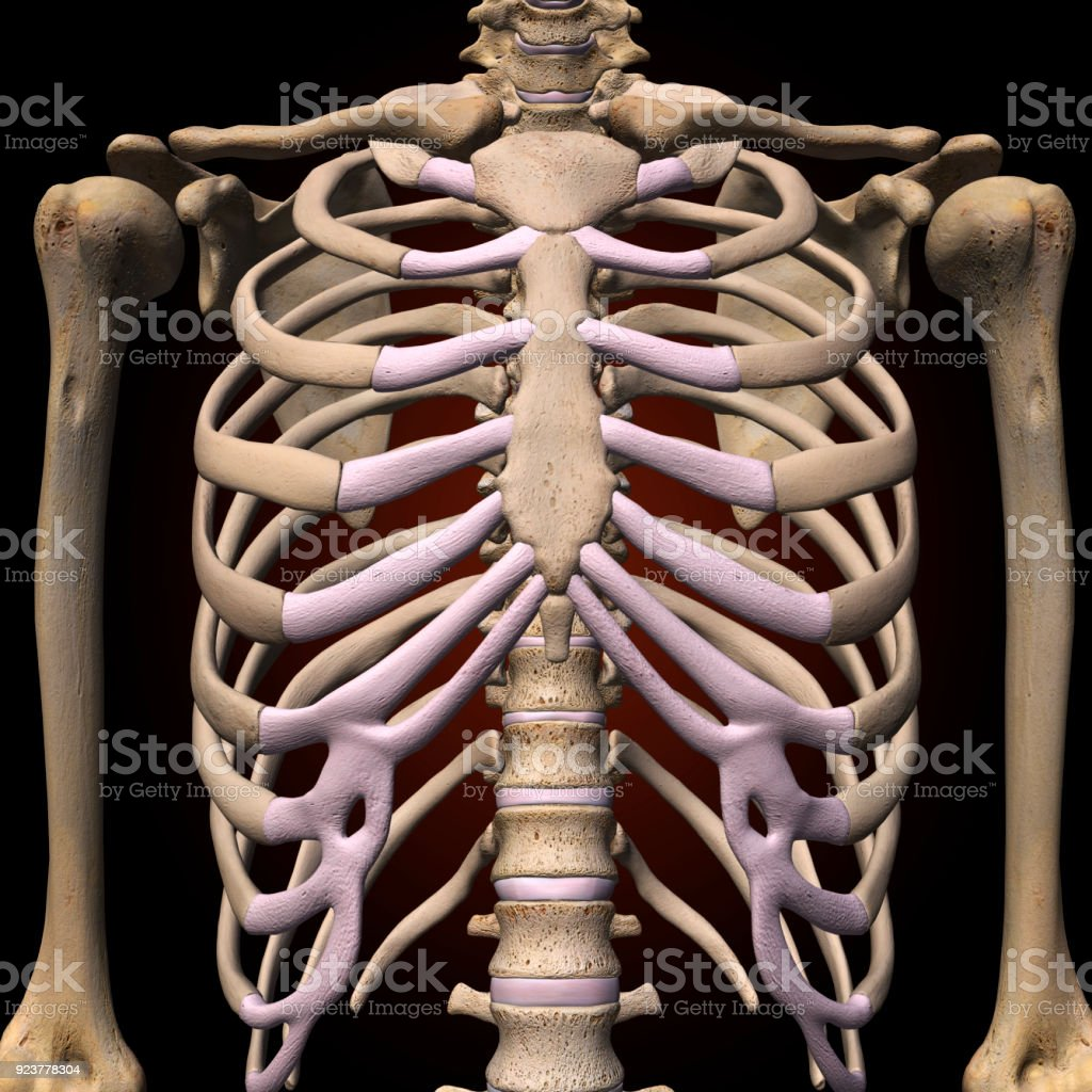 Human Rib Cage Stock Photo More Pictures Of Anatomy Istock