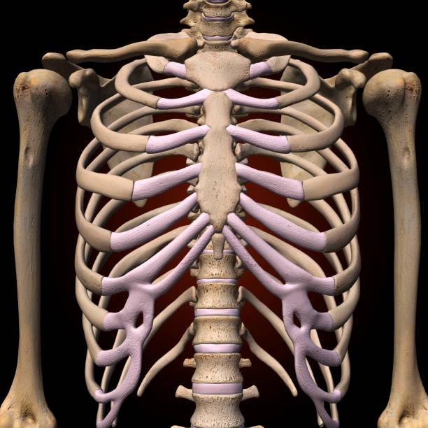 homme cage thoracique - sternum photos et images de collection