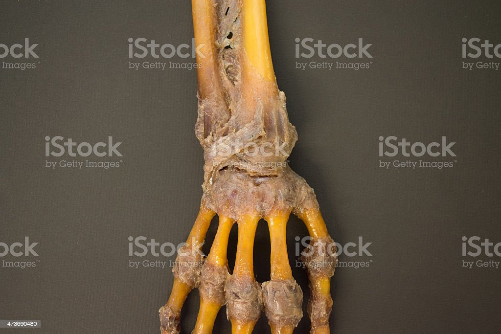 Human right hand dissected - top view detail - HD stock photo