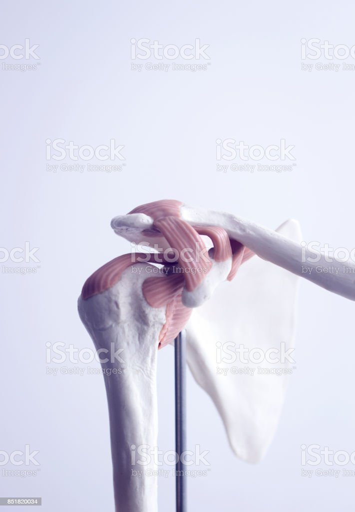 Human shoulder joint  medical teaching model showing bones ligaments, tendons and cartilage. stock photo
