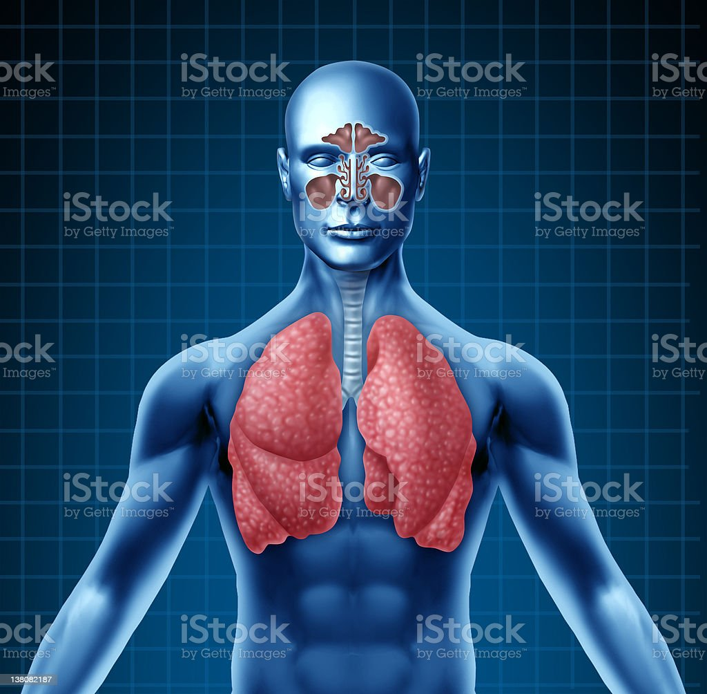 Human sinus and respiratory system royalty-free stock photo