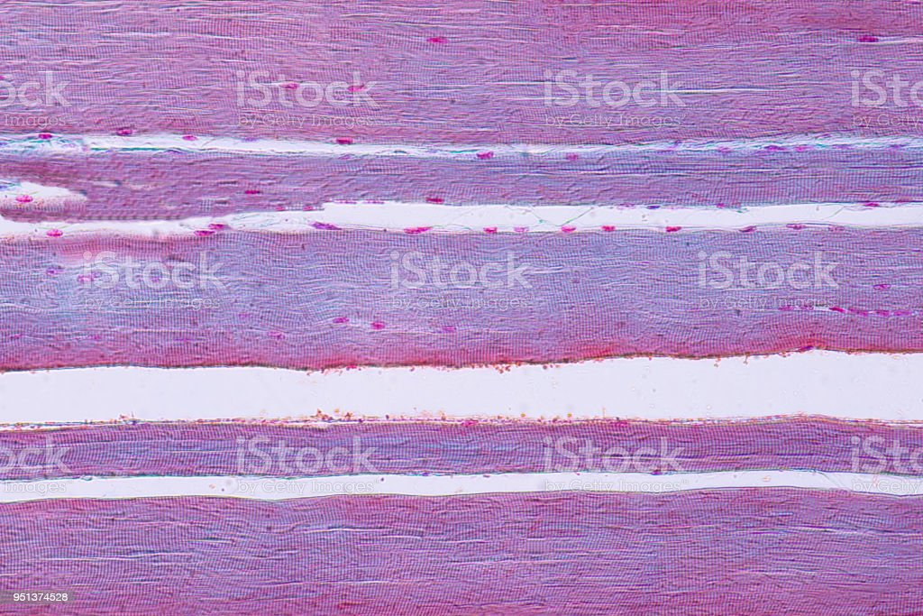 Human skeletal muscle under microscope view for education histology. stock photo