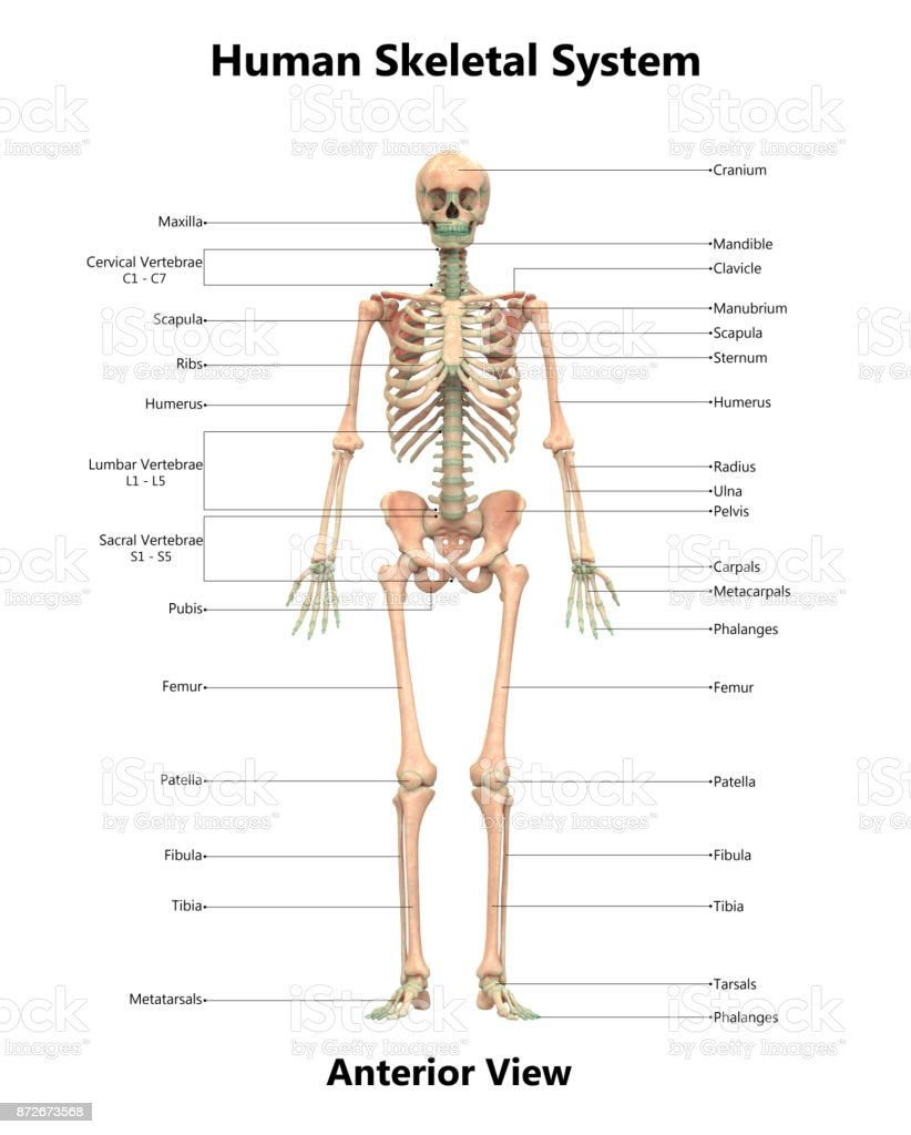 Human skeletal system anatomy with detailed labels anterior view human skeletal system anatomy with detailed labels anterior view royalty free stock photo ccuart Image collections