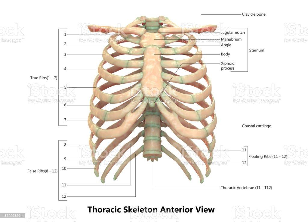 Menschliches Skelettsystems Anatomie Mit Detaillierten Etiketten ...