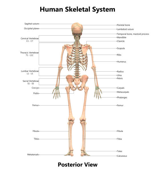 Royalty Free Label Skeletal System Pictures Images And Stock Photos