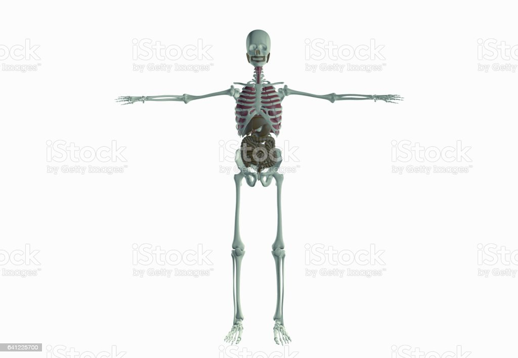 Human Skeletal System Stock Photo & More Pictures of Anatomy | iStock