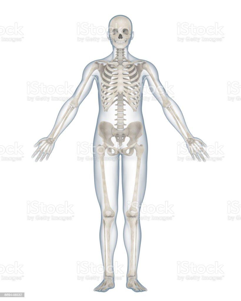 Beste Arm Skelettanatomie Galerie - Menschliche Anatomie Bilder ...