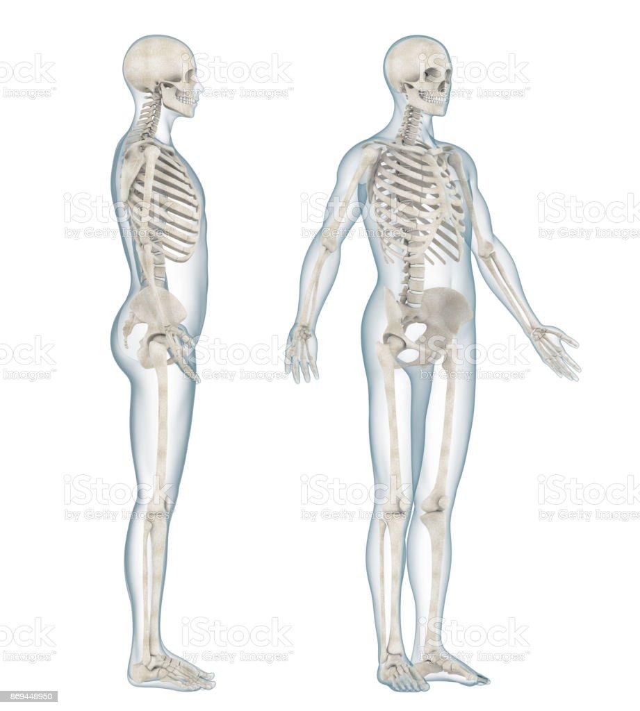 Menschliches Skelett Anatomie Isoliert Stock-Fotografie und mehr ...