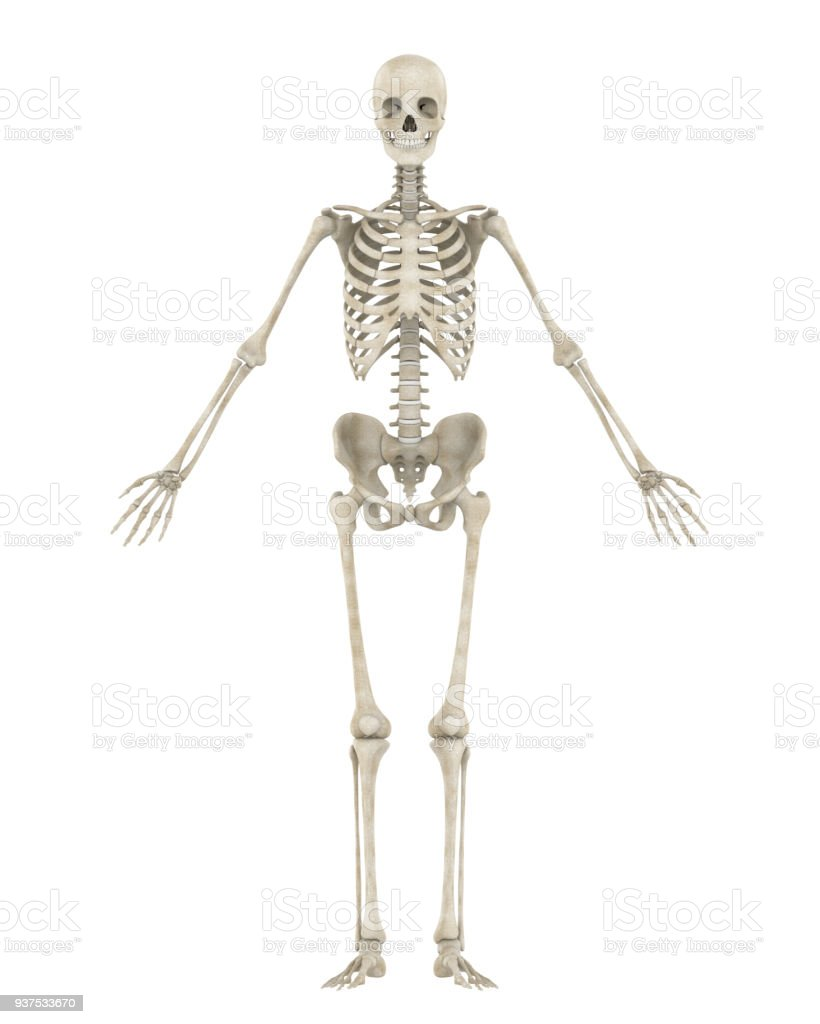Human Skeleton Anatomy Isolated Stock Photo More Pictures Of