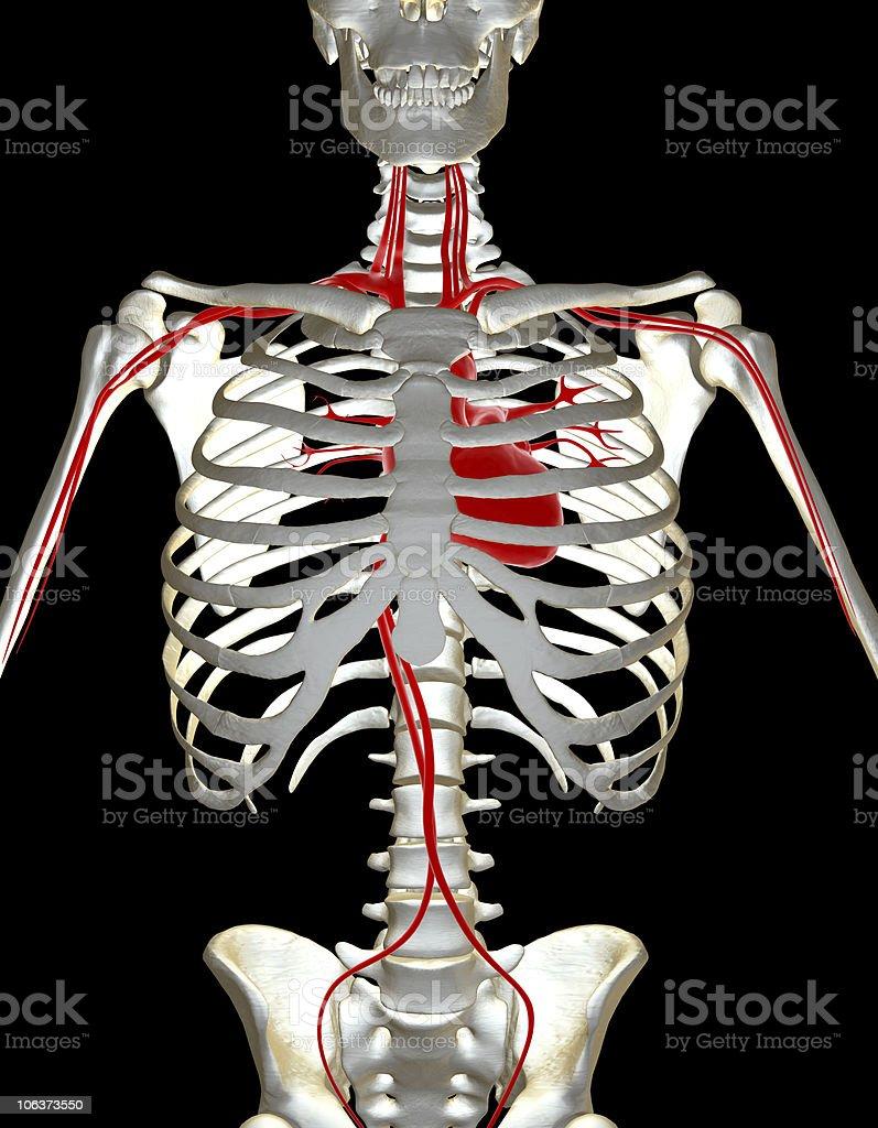 Menschliches Skelett Mit Herzsystem - Stockfoto | iStock