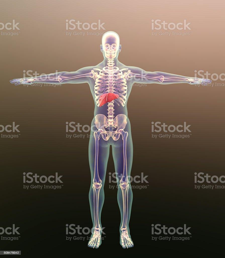 human skeleton and liver stock photo