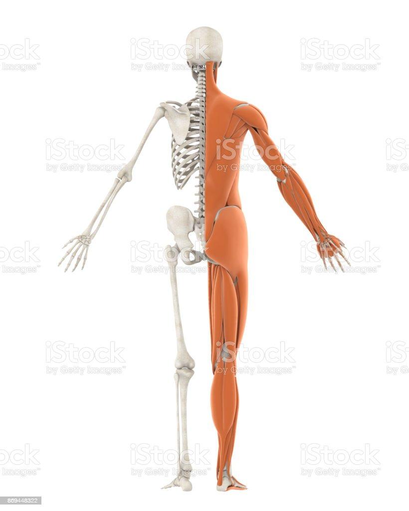Niedlich Menschliches Skelett Mit Muskeln Zeitgenössisch ...