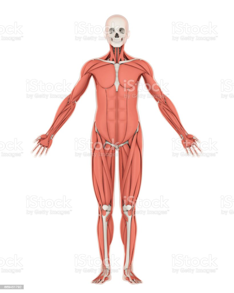 Human Skeleton And Muscle Anatomy Isolated Stock Photo More