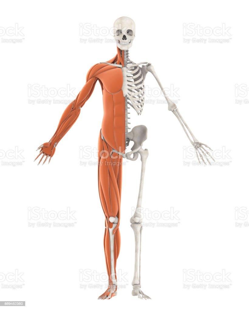 Menschliches Skelett Und Muskeln Anatomie Isoliert Stock-Fotografie ...