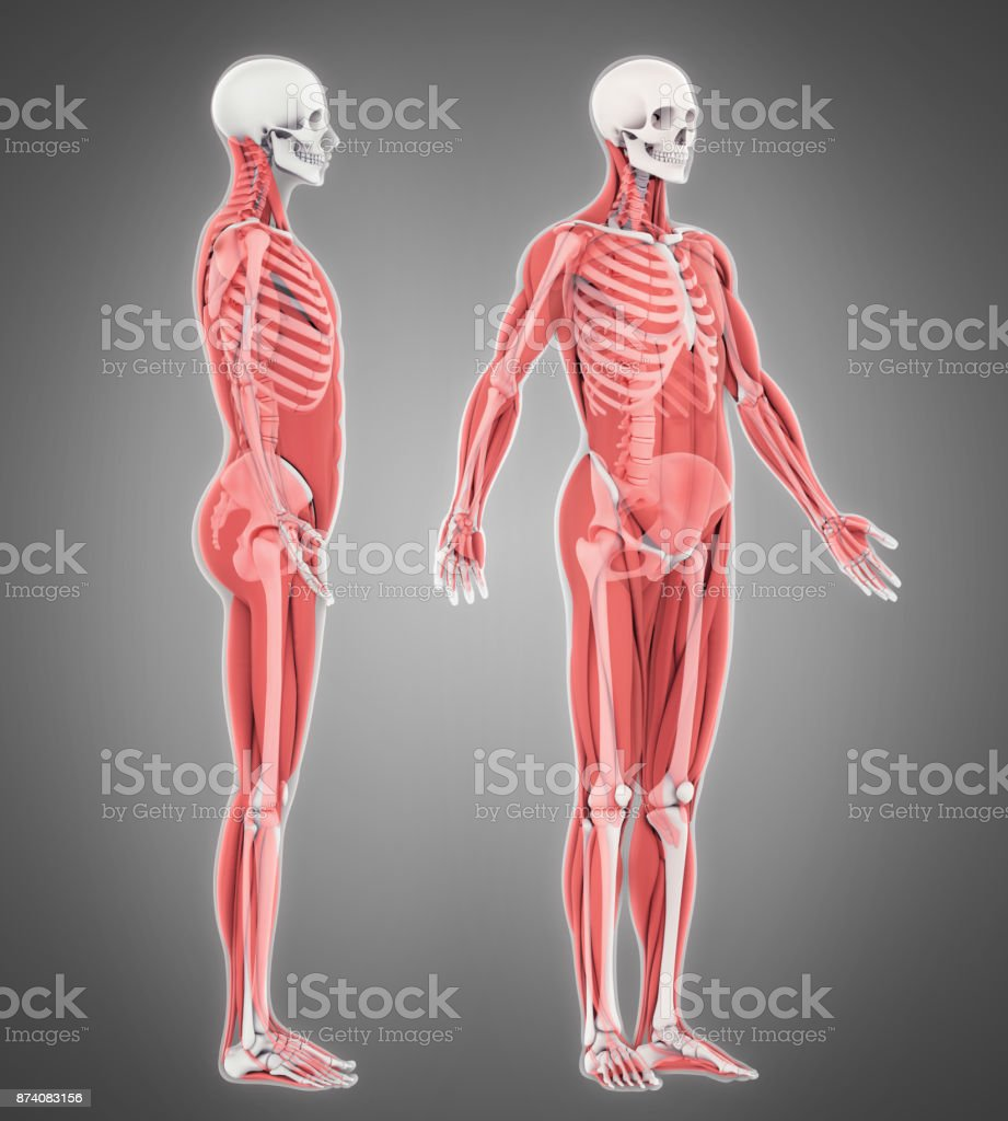Human Skeleton And Muscle Anatomy Stock Photo & More ...
