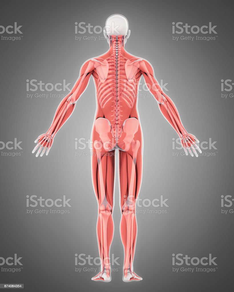 Human Skeleton and Muscle Anatomy stock photo