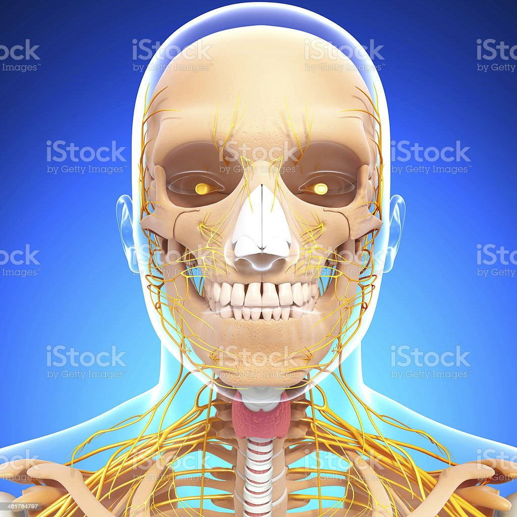 Human Skeleton And Nervous System Of Head With Eyes Teeth Stock