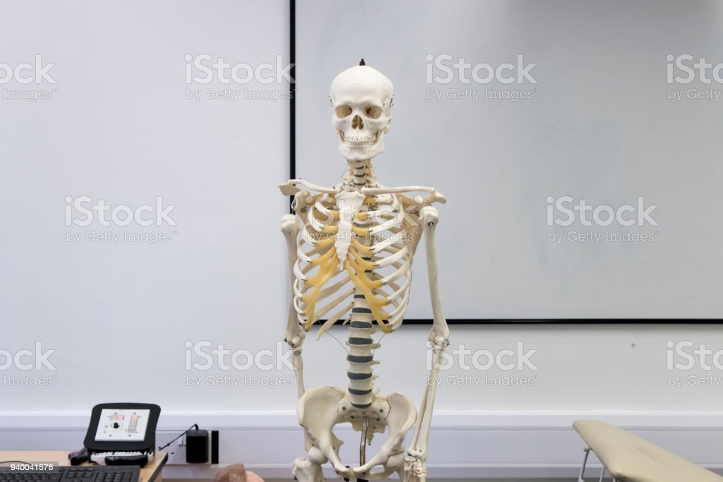 Human Skeleton At The Front Of The Class Stock Photo More Pictures