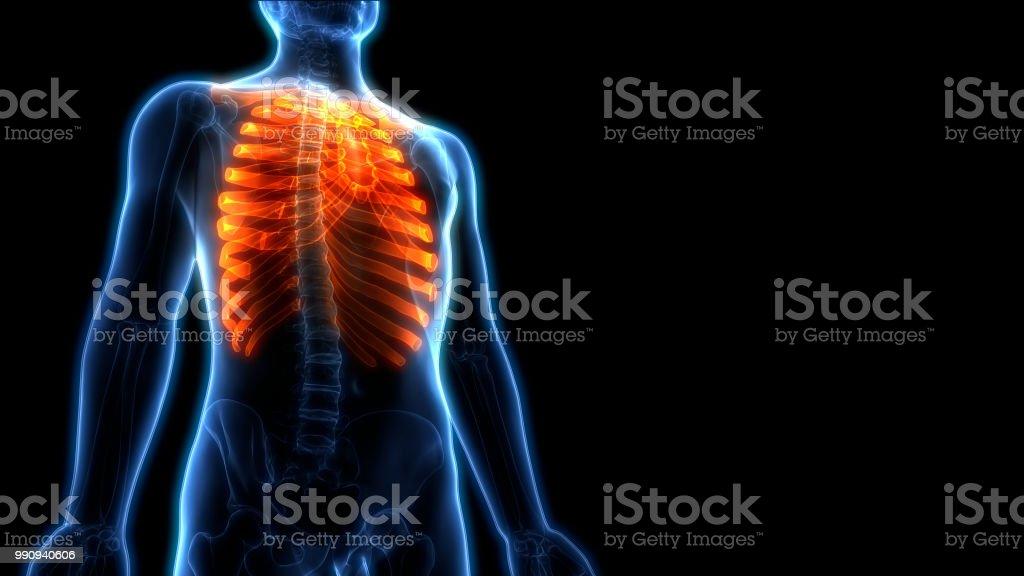Fotografía de Anatomía De Hueso Esqueleto Humano Articulaciones ...