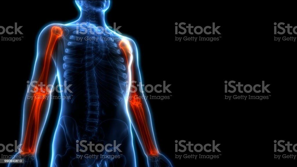 3D Illustration of Human Skeleton Bone Joints Pain Anatomy