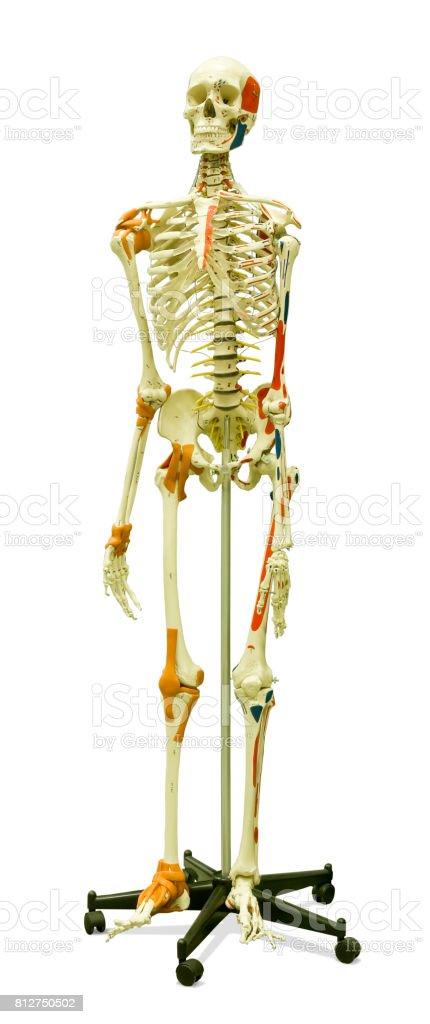 Human Skeleton Bones And Ligaments Isolated On White Backround Stock