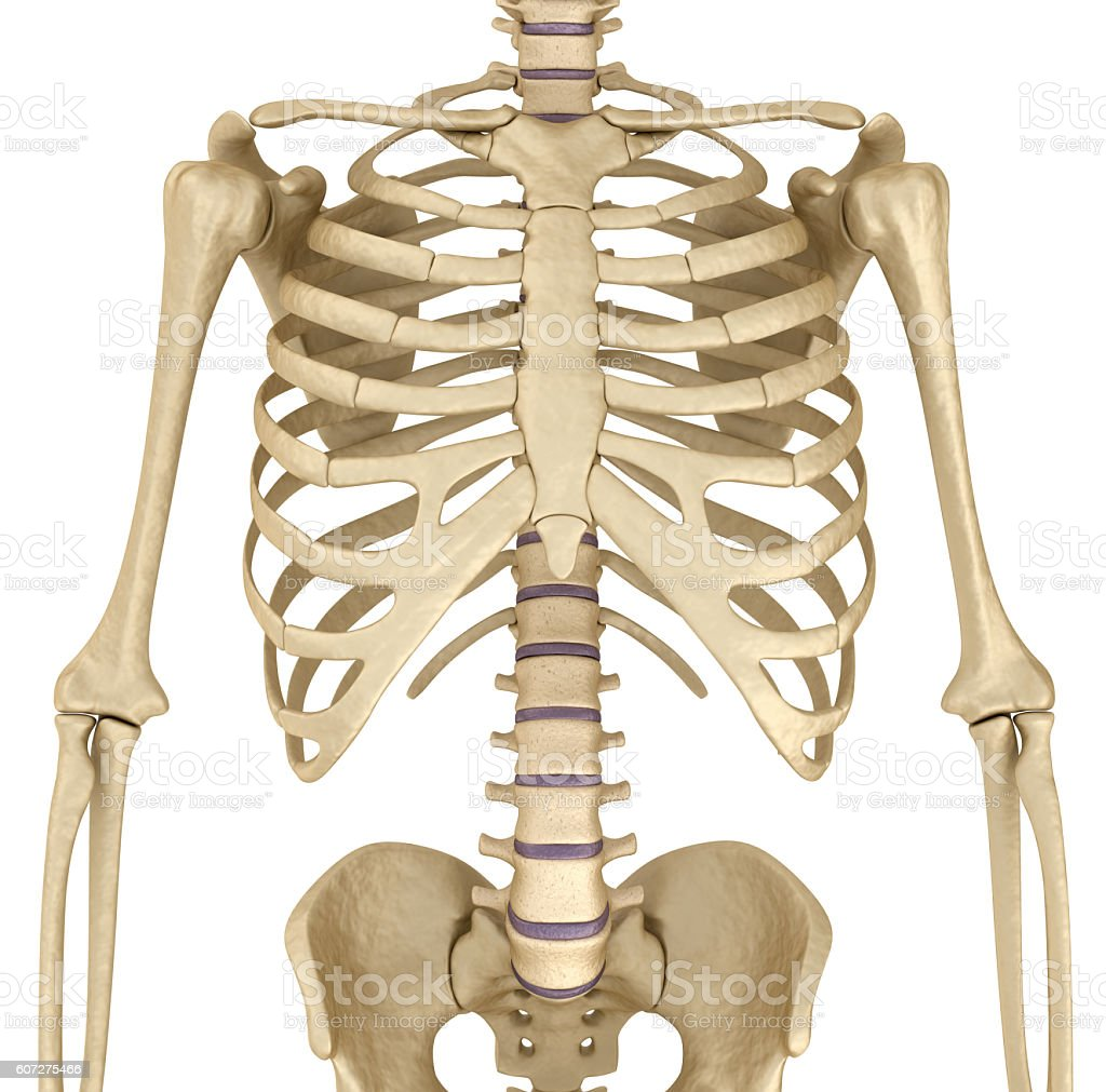 Human skeleton: breast chest. Front view. Medically accurate 3D illustration stock photo