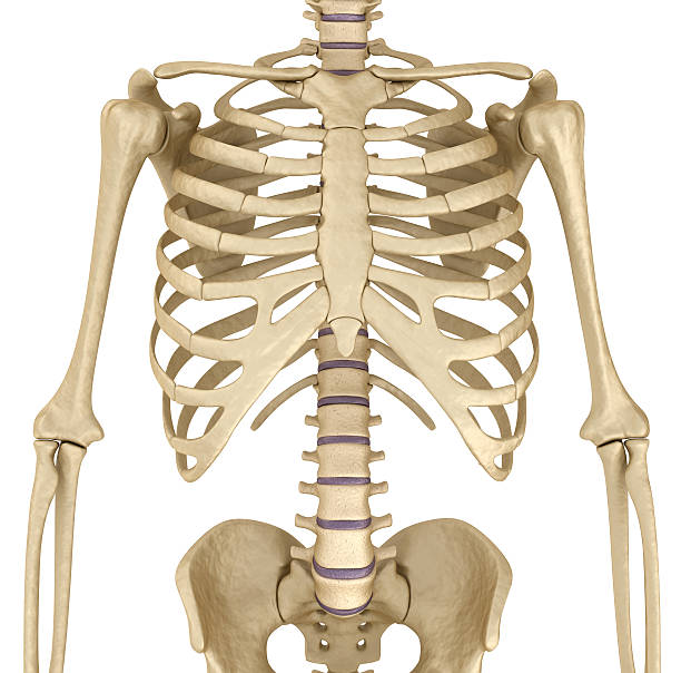 Royalty Free Shoulder Bone Pictures Images And Stock Photos Istock