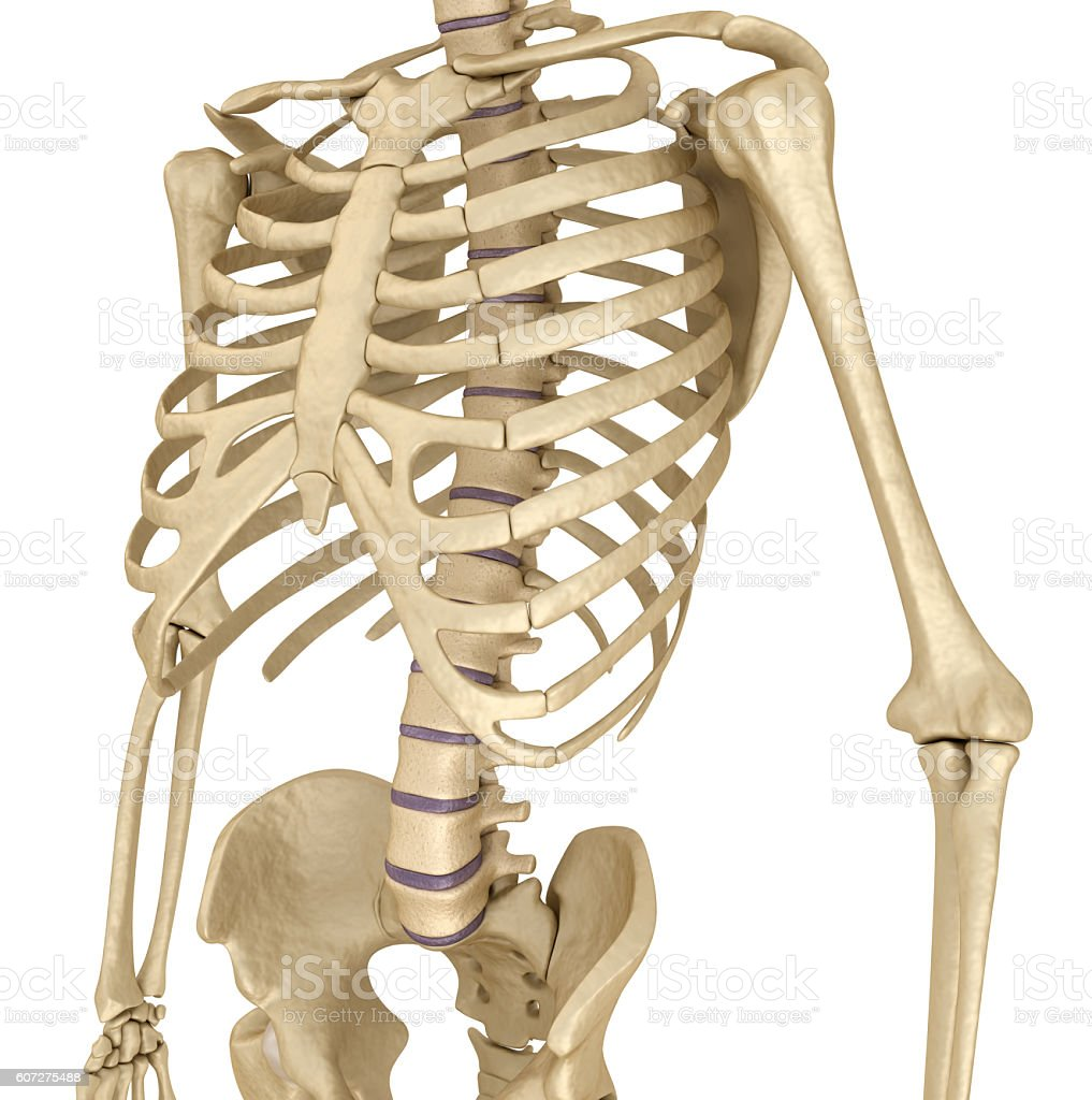 Human Skeleton Breast Chest Front View Stock Photo & More Pictures ...