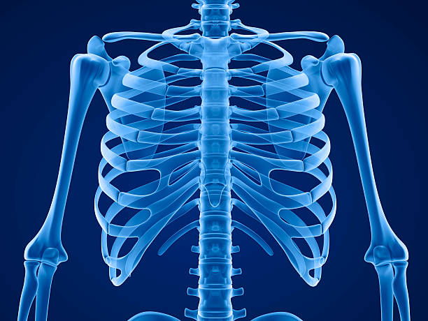 human skeleton: breast chest. front view. - human skeleton stock photos and pictures