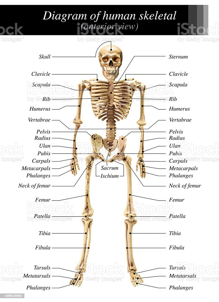 Human Skeleton Diagram Stock Photo More Pictures Of 2015 Istock