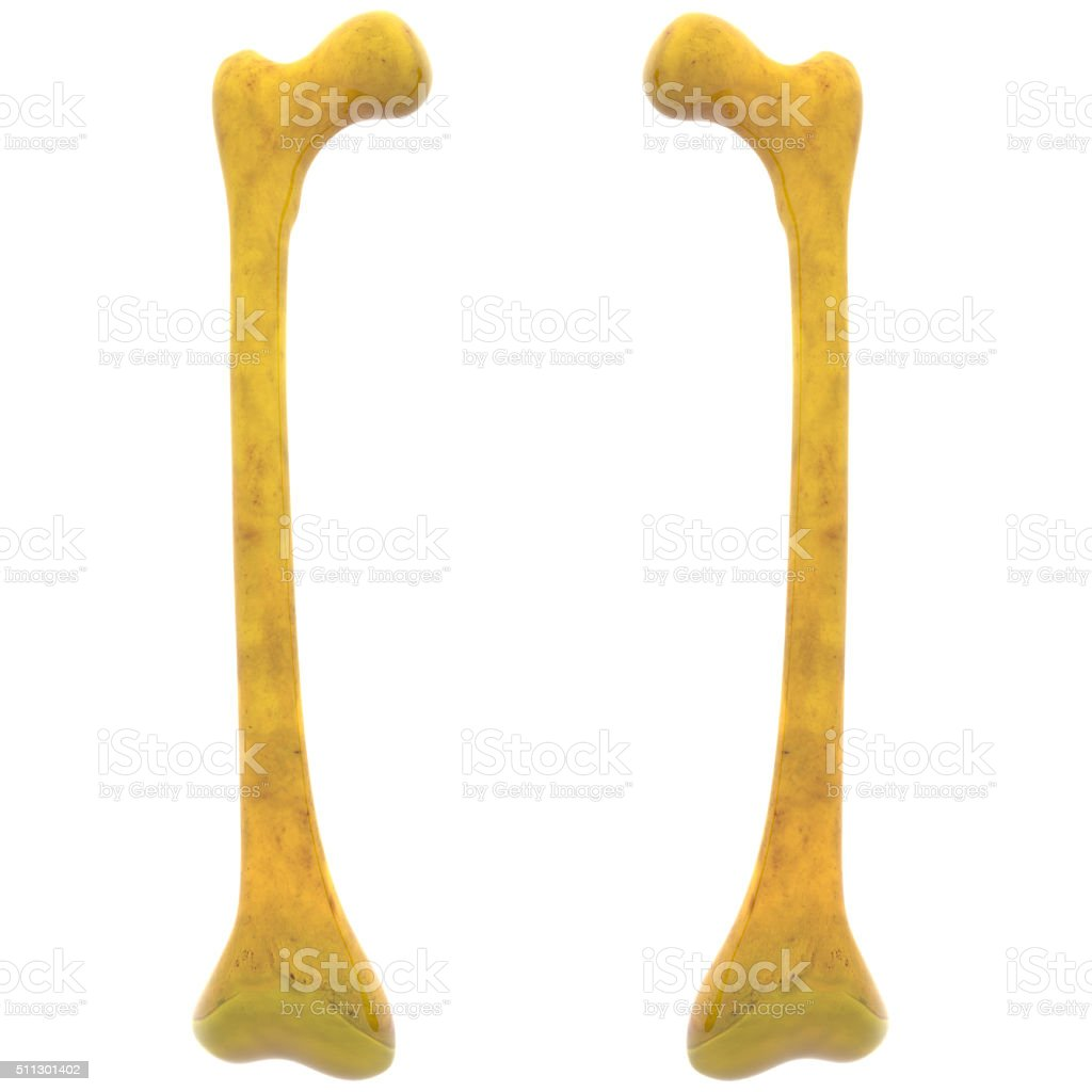 Human Skeleton Femur Bones Stock Photo More Pictures Of Accuracy