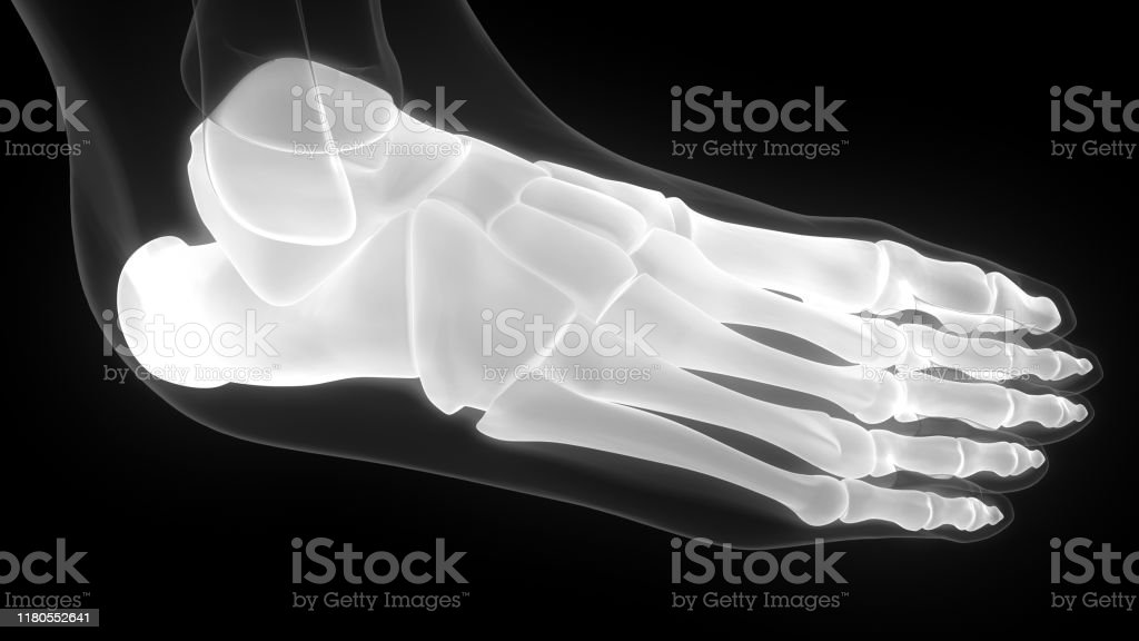 Human Skeleton Foot Joints Anatomy Xray Stock Photo Download Image Now Istock