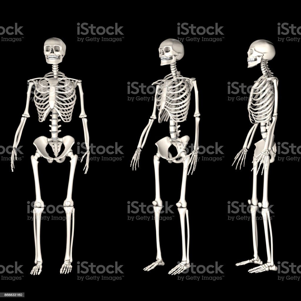 Human skeleton from 3 different angles stock photo