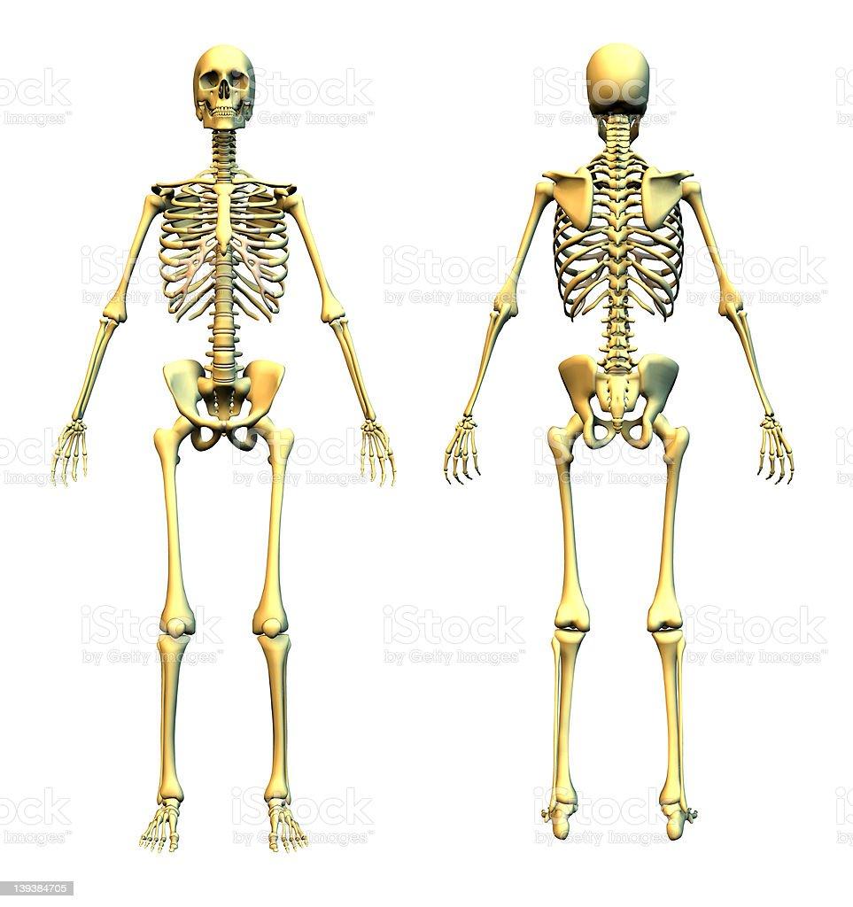 Menschliches Skelett Vorne Und Hinten Stock-Fotografie und mehr ...