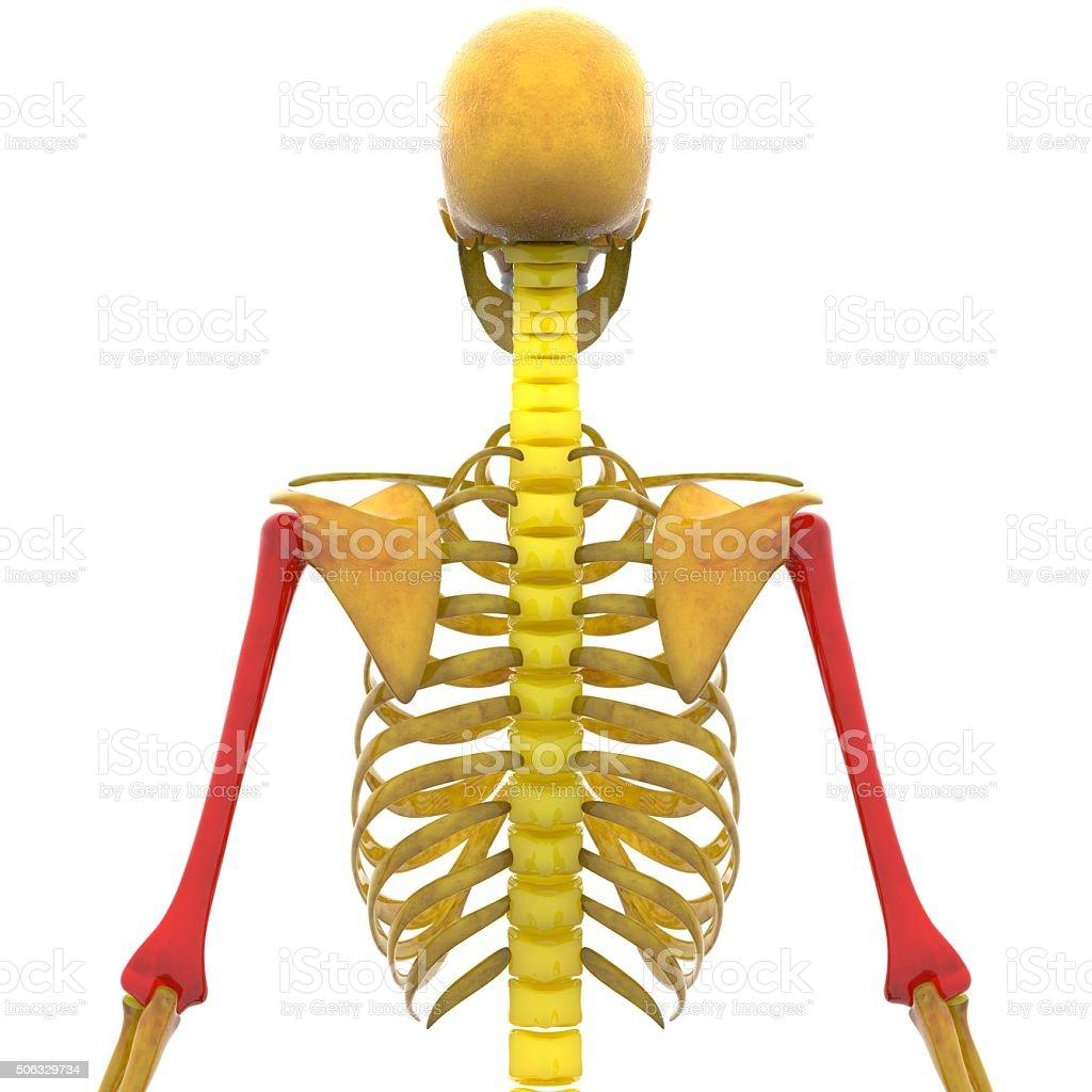 Human Skeleton Humerus Bone Stock Photo More Pictures Of Anatomy