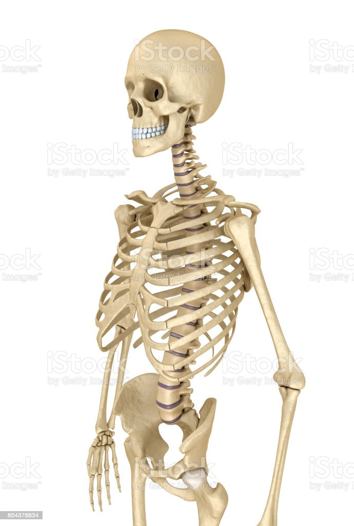 Human skeleton isolated , Medically accurate 3d illustration . stock photo
