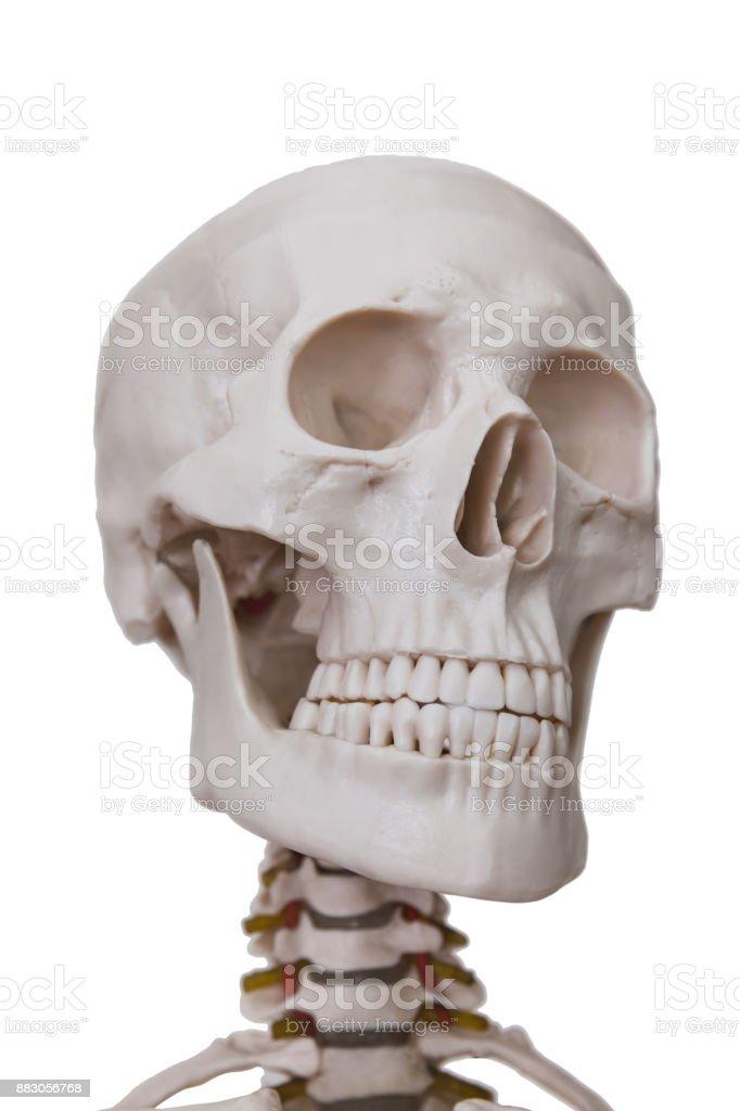 Human skeleton, isolated on white background stock photo