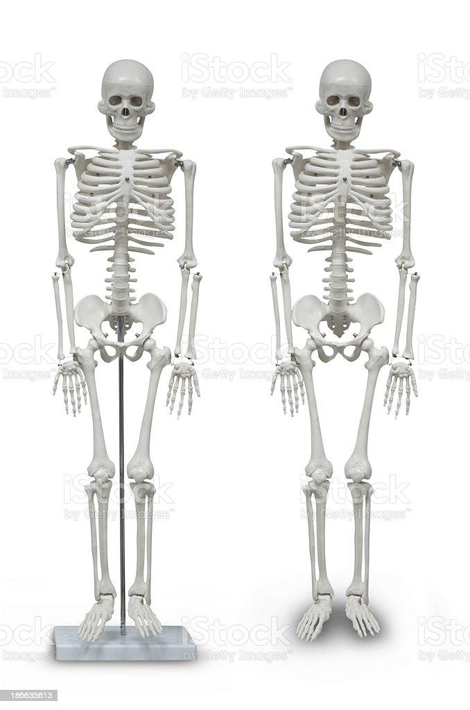 human skeleton model royalty-free stock photo