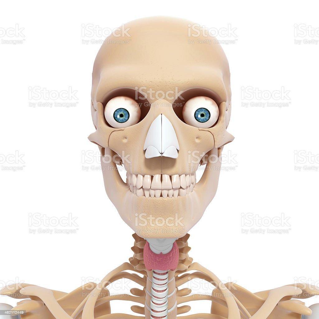 Menschliches Skelett Von Kopf Mit Augen Zähne Und Hals Stock ...