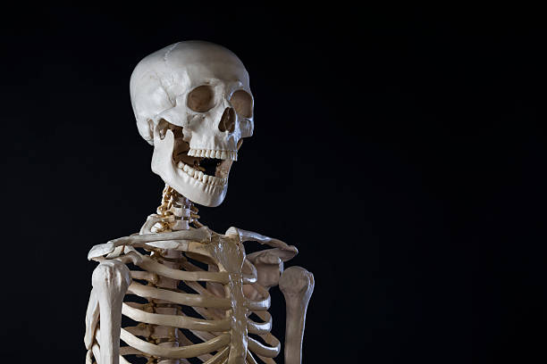 human skeleton, opened mouth, copy space - human skeleton stock photos and pictures