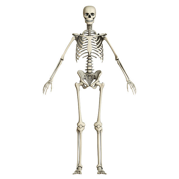 Human Skeleton Pictures 18