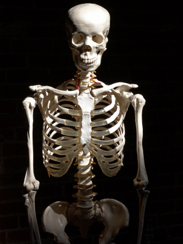 Human skeleton with dark background. Torso & skull.