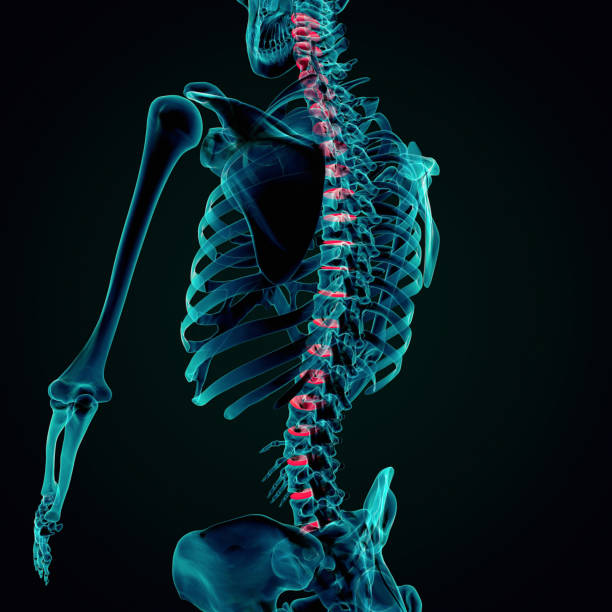 Human Skeleton 3D Image showing human back with some points of back pain. auditory cortex stock pictures, royalty-free photos & images