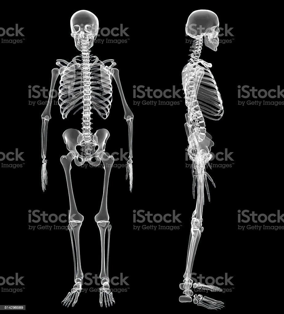 Menschliches Skelett Stock-Fotografie und mehr Bilder von Abstrakt ...